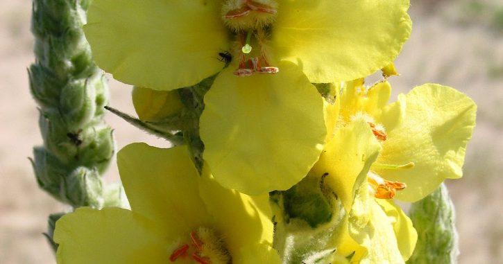 0100-001-blog-remedios-da-vovo-blog-multiflora-fernandopolis-blog-mais-plantas-buddleya-brasiliensis-jacq-ex-spreng-ssp-stachyoides-cham-e-schlecht-verbasco-flores-e-plantas-medicinais