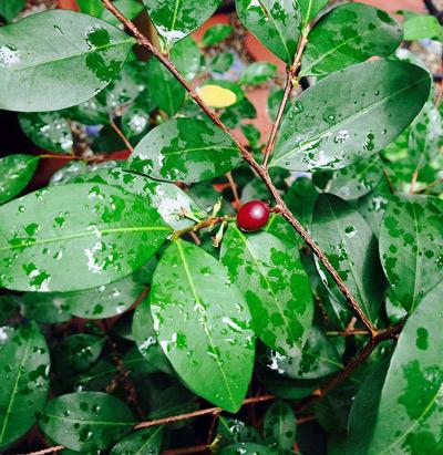 folhas-e-fruto-da-planta-catuaba