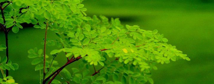 moringa-oleifera-481072_954x375
