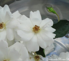 banho de rosas brancas