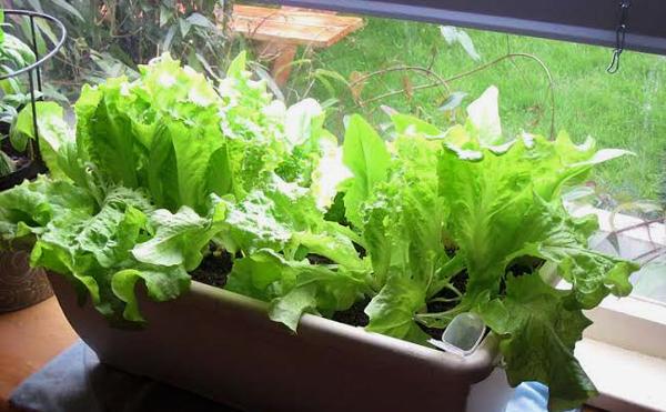 Como plantar alface em casa dr ervas Como cultivar peces en casa