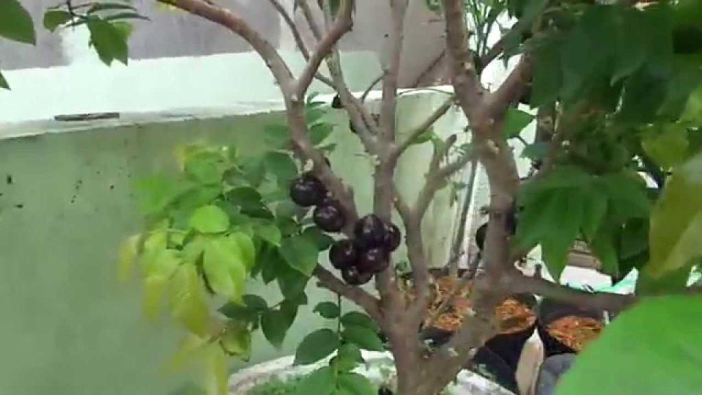 Amado Como plantar jabuticaba em casa no em apartamento - Dr.Ervas XK53