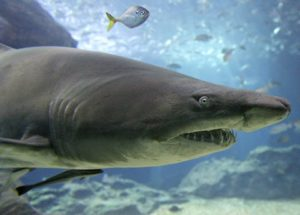 benefícios da cartilagem de tubarão