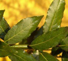 banho de folhas de louro